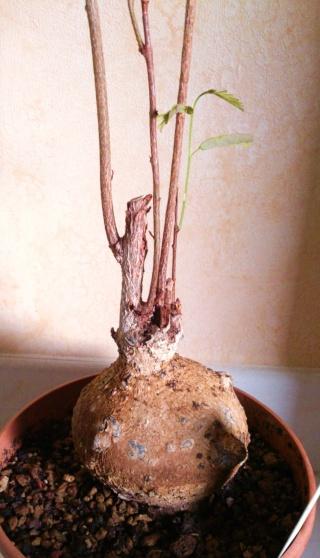 Delonix microphylla/Elephantorrhiza elephantina Alb_2_15