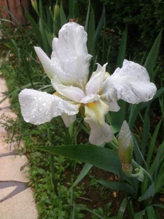 Floraisons de nos Iris barbus 2013 Vvv_0210