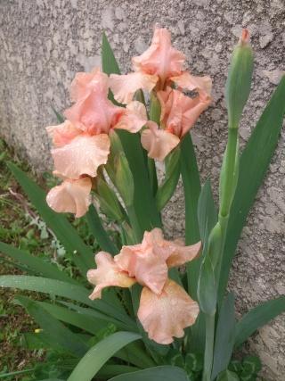 Floraisons de nos Iris barbus 2013 Vvv_0213
