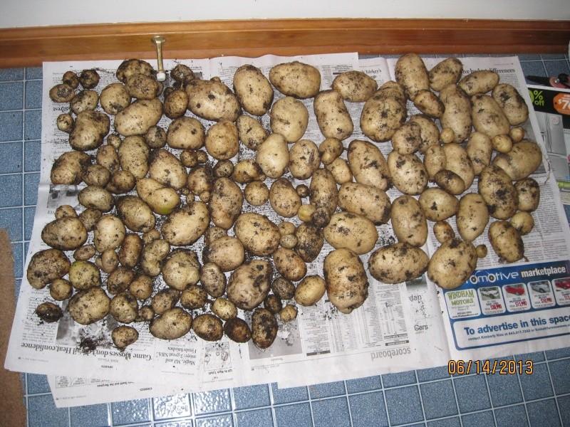 cool idea for growing potatoes - Page 2 Potato13
