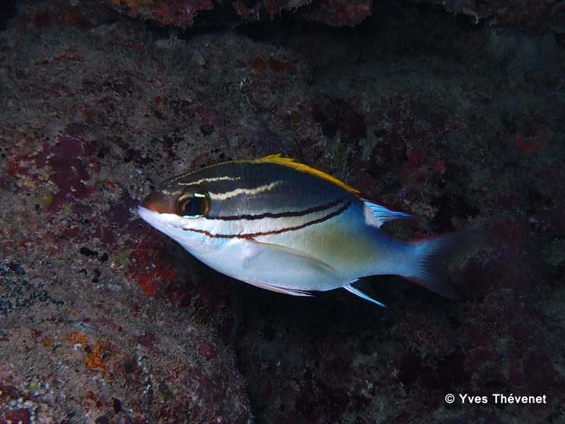Scolopsis bilineatus. Brème à œil rayé. Boular13
