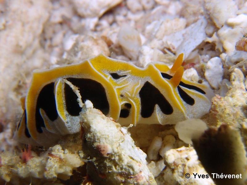 Reticulidia fungia. Nudibranche. Lifou-16