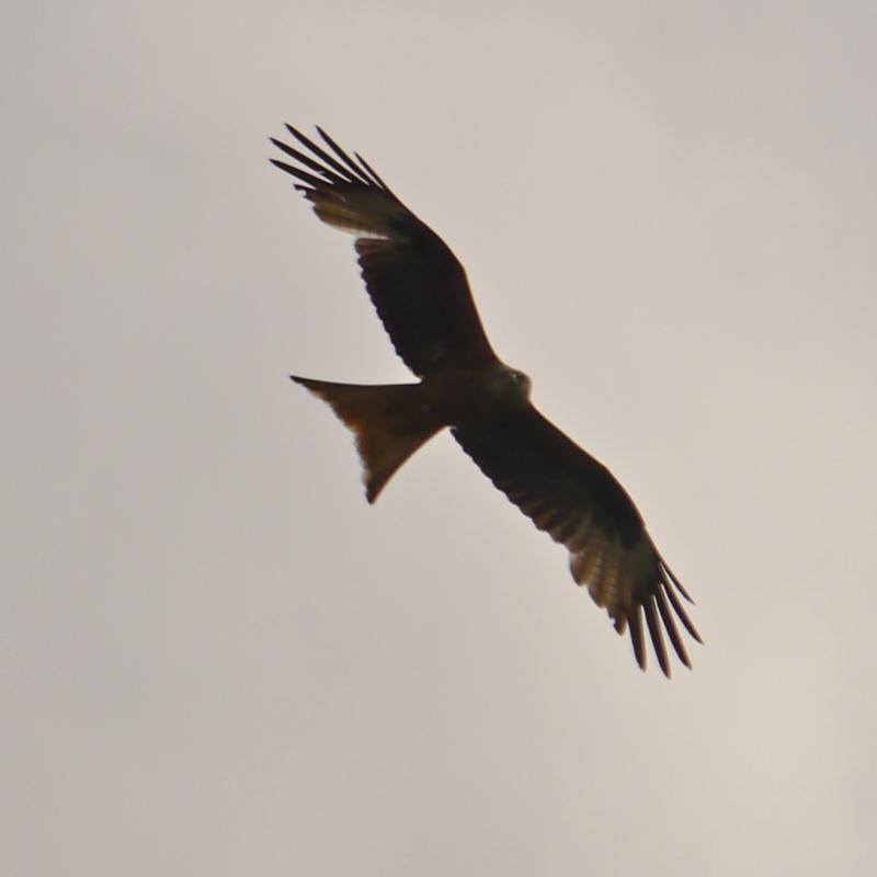 Red Kites P1000710
