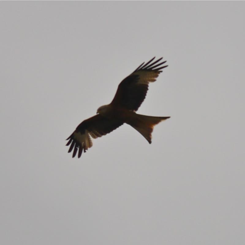 Red Kites P1000711