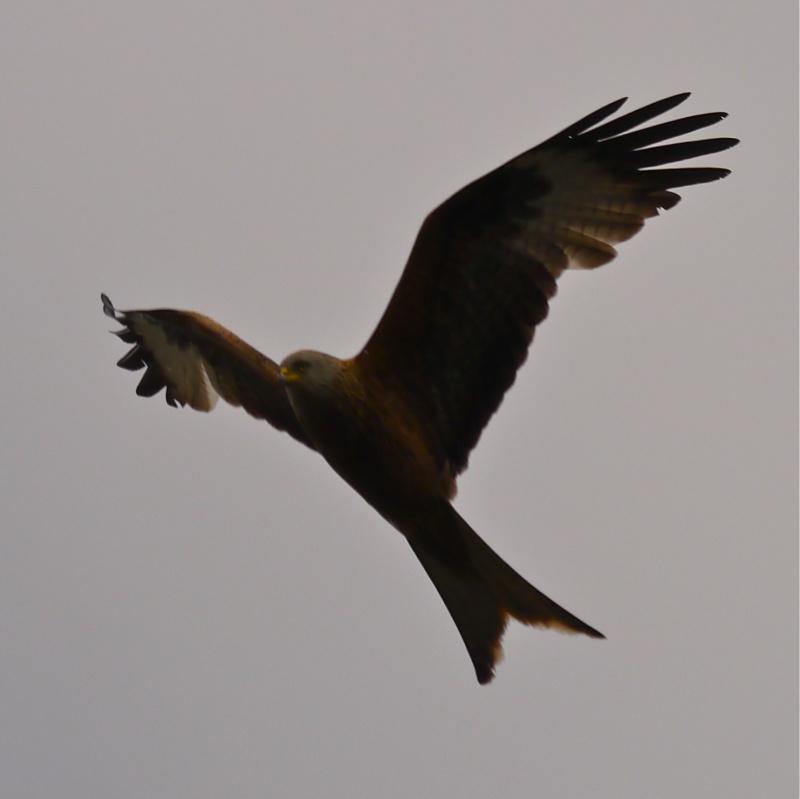 Red Kites P1000712