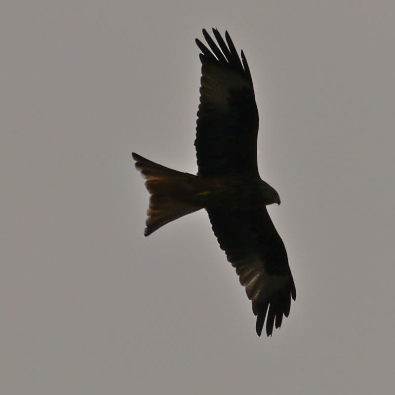 Red Kites P1000715