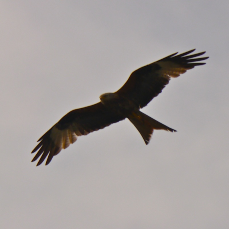 Red Kites P1000716