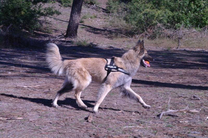 Vos chiens et leurs harnais! Photo  - Page 2 Sam_4512