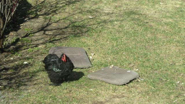 Donne contre bons soins coq Campine et coq Cochin noir Img_3311