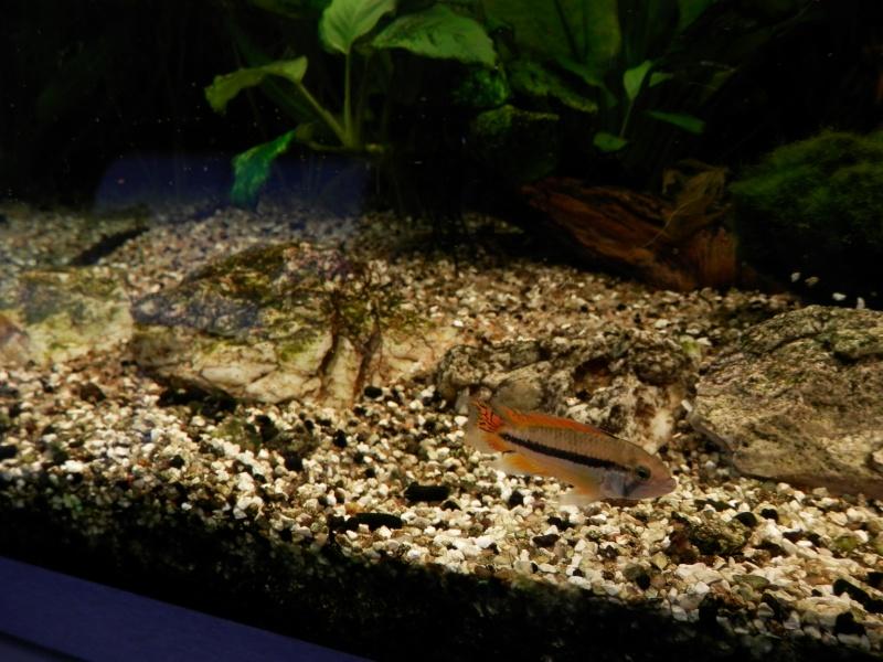 Première reproduction de cacatuoides en communautaire P5220111