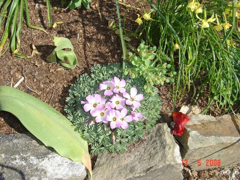 une petite merveille du chili - Oxalis Adenophylla 6_02810