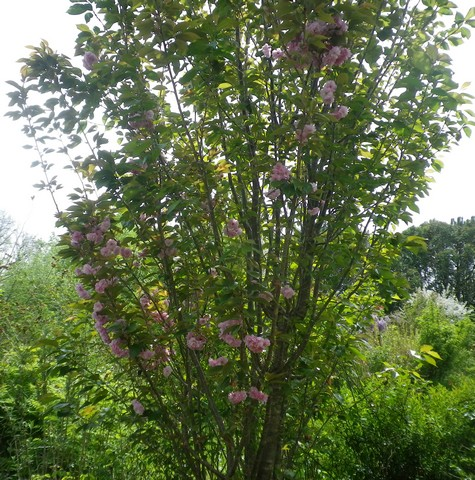 Prunus serrulata 'Royal Burgundy' 17042015