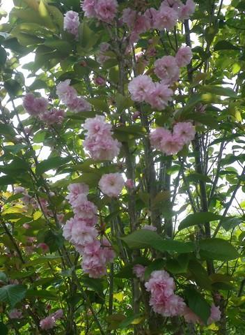 Prunus serrulata 'Royal Burgundy' 17042016