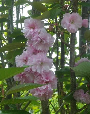 Prunus serrulata 'Royal Burgundy' 17042017