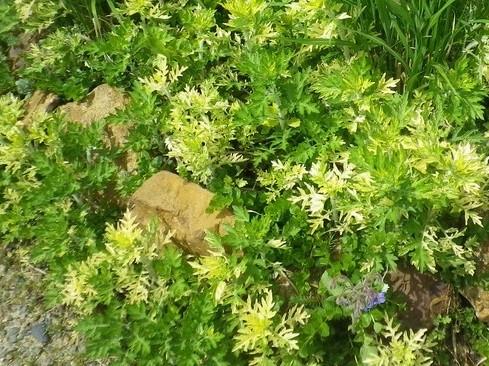 Artemisia vulgaris 'Oriental Limelight' !!! 17042027