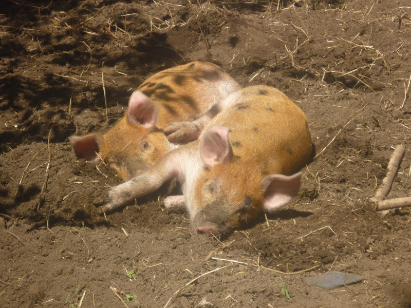 Photos! Voici mes deux cochons! P1010010