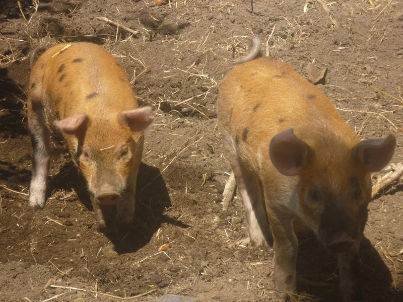 Photos! Voici mes deux cochons! P1010011