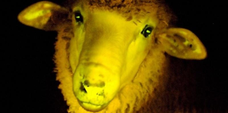 Des moutons transgéniques phosphorescents Mouton10