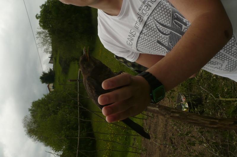 Reconnaitre les oiseaux de nos jardins... - Page 7 Merle11