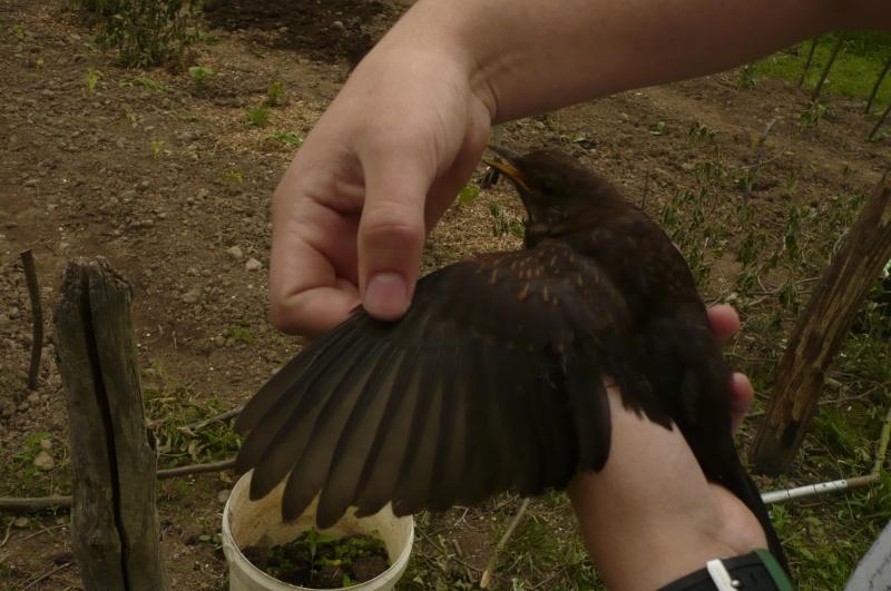 Reconnaitre les oiseaux de nos jardins... - Page 7 Merlea10
