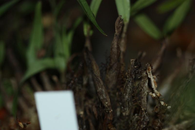 Was für ein Dendrobium????? 01210