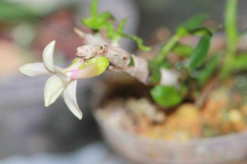 Dendrobium cuthbertsonii x victoria-reginae Img_7017
