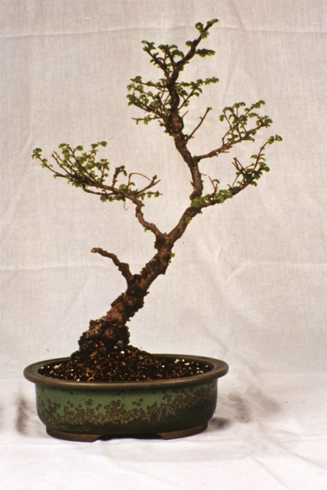 American Bonsai at the NC Arboretum - Page 2 Chines10