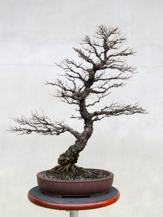 American Bonsai at the NC Arboretum - Page 2 Chines11