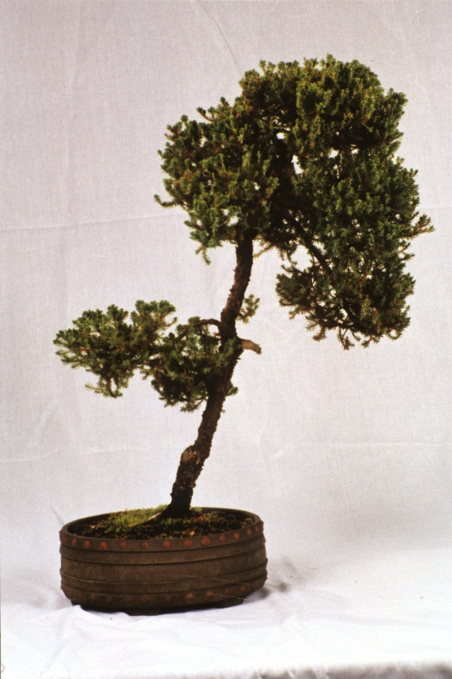 American Bonsai at the NC Arboretum - Page 2 Procum10
