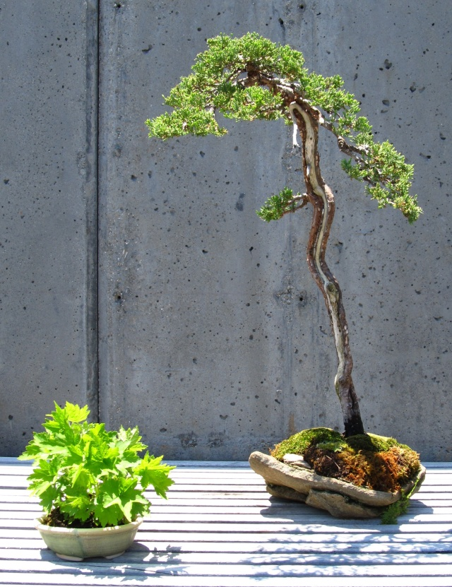 American Bonsai at the NC Arboretum - Page 2 Procum11