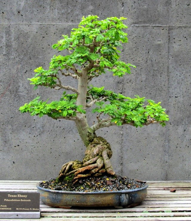 American Bonsai at the NC Arboretum - Page 2 Texas_11
