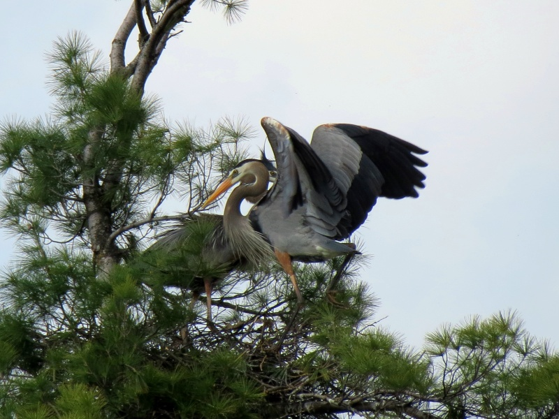 Un couple de Héron et leur nid a Terrebonne Img_1015