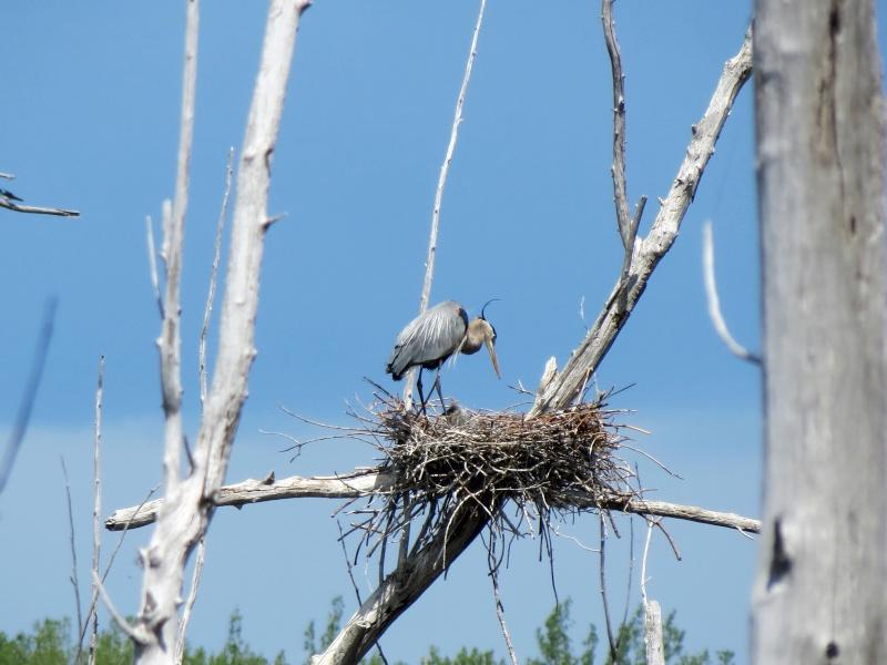 Bébés Hérons au nid et Héron a la pêche Img_3610