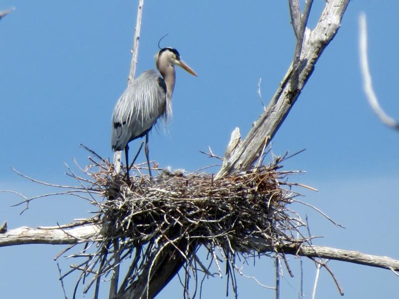 Bébés Hérons au nid et Héron a la pêche Img_3611