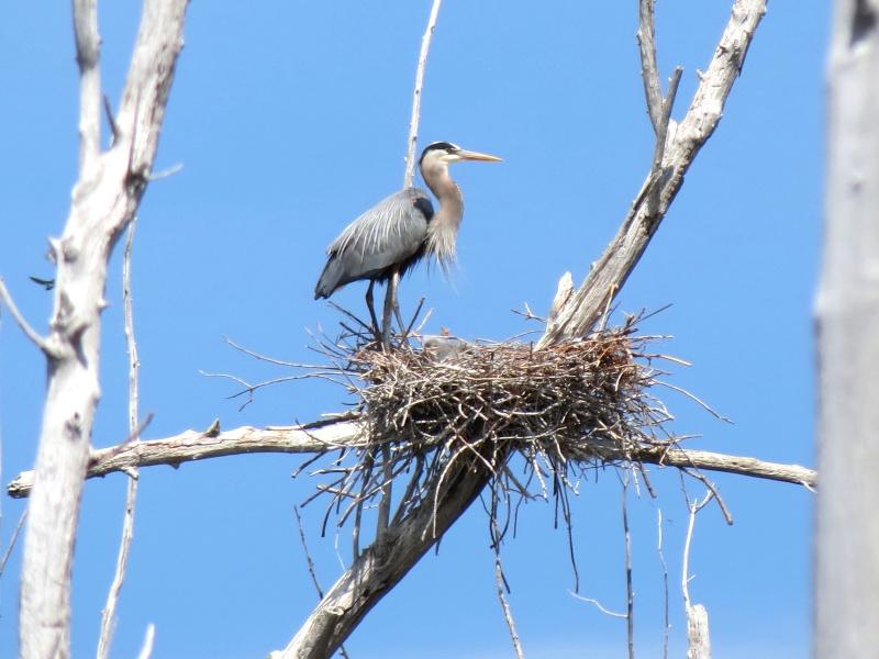 Bébés Hérons au nid et Héron a la pêche Img_3612