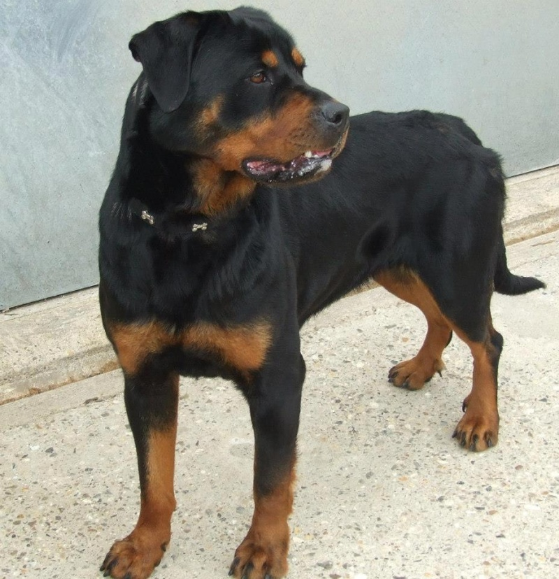 Roxy, Rottweiler - needs rescue space URGENT (pound overflowing) SAFE we need to eb for 2 weeks 40194410