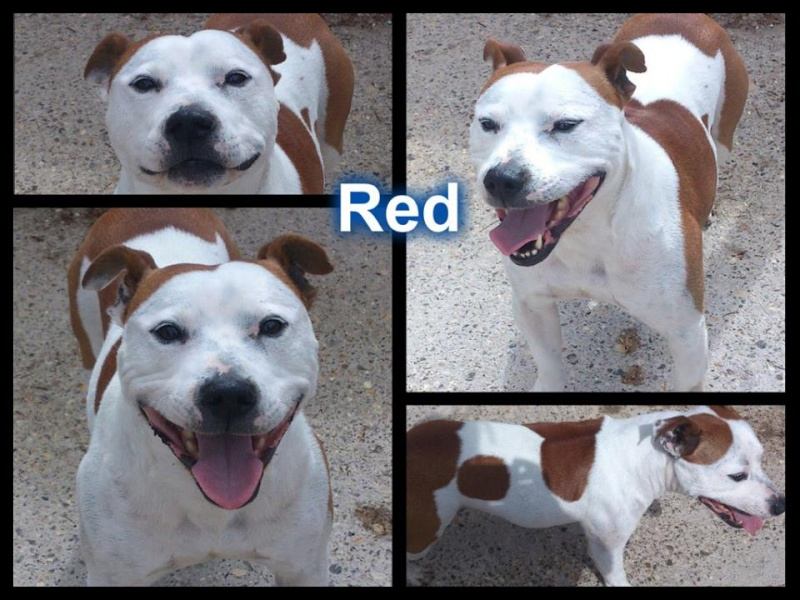 Red, male SBT - needs URGENT rescue space (pound overflowing) SAFE Red10