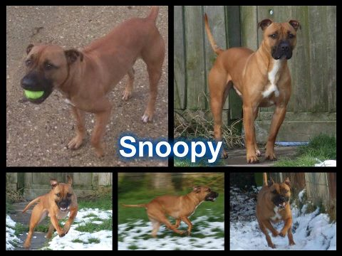 Snoopy SBT x Mastiff needs immediate rescue space - UPDATED  SAFE Snoopy10