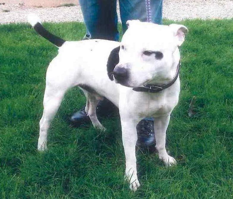 Toby, SBT - needs rescue space URGENT by 16th May or will be PTS  SAFE Toby10
