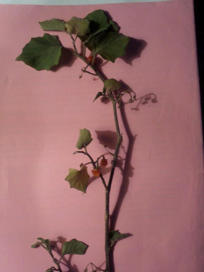 petite herbacée Img38210