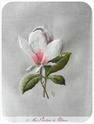 Magnolia finit  Dscn4810