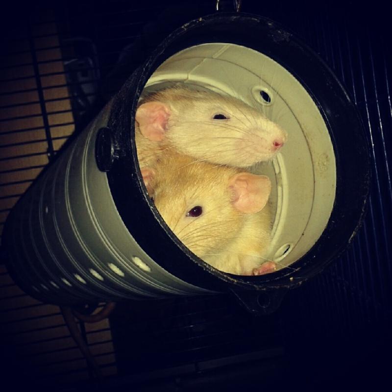 Cage idéale pour 3 rats Img_2010