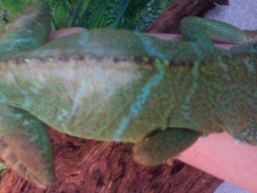 Dragon d'eau tache blanche sur le dos (photo) 13674311