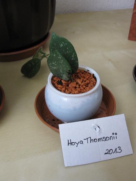 Nici's Hoyas Thomso10