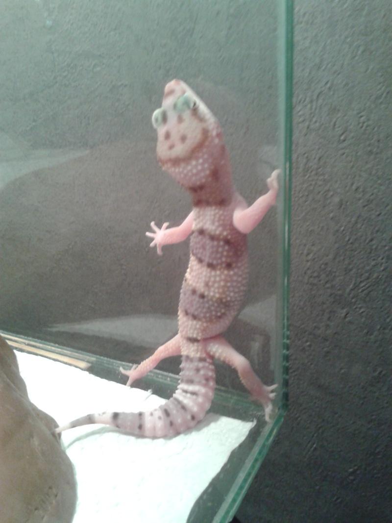 Un nouveau ! Un Gecko Leopard  20130613