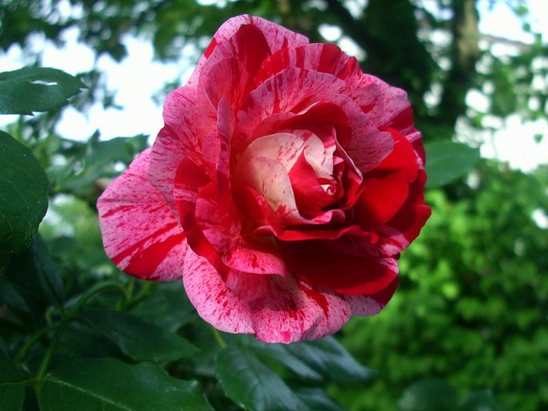 """Rosen - ein Thread für die """"Königin"""" - Seite 3 Rose_g10"""