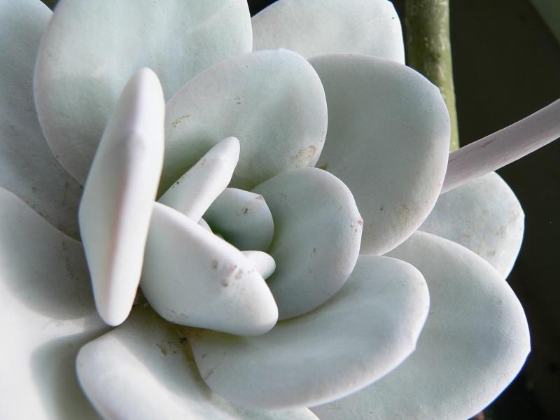 Echeveria lauii P1290510
