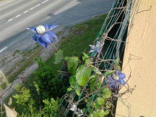 mes clématites , aromes, et ma serre  Photo038