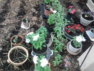 mes clématites , aromes, et ma serre  Photo044