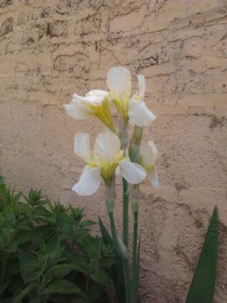 mes clématites , aromes, et ma serre  Photo047